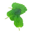 lemon balm, mint