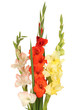 Bouquet of beautiful colorful gladioli