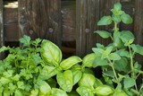 Close-up of parsley, basil and oregano in front of wooden fence