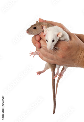 Fancy rats in hands