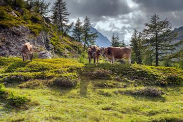 bovini razza Bruno Alpina al pascolo