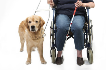 Guide dog isolated on white with wheelchair
