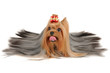Long coated Yorkshire Terrier lies on white