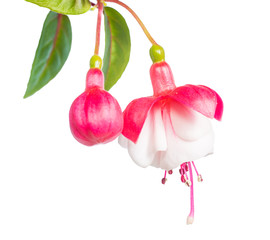 fuchsia isolated on white  background, Alwin