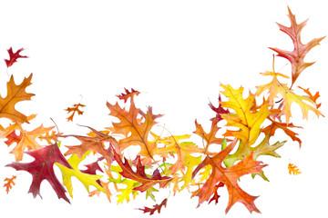 Flying autumn oak leaves isolated on white