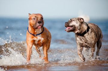 two dogs run on the beach