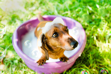 The dog takes a bath