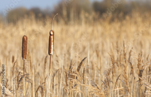 Two bulrushes