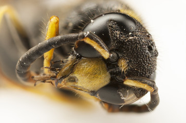Portrait of a wasp head