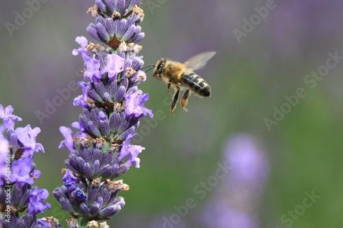 l' abeille ...