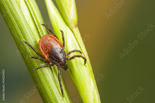 Tick on a plant straw