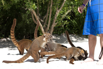 Coatis on the beach