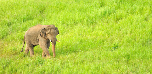 Asian Elephant in grassland, Khao Yai national park, Thailand