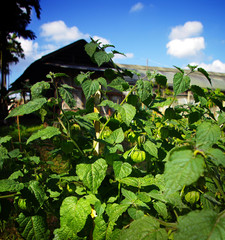 Cape gooseberry tree farm