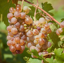 White grapes on the vineyard