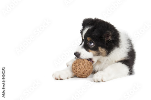 Australian Shepherd puppy on white background