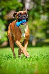 german boxer dog playing with a toy
