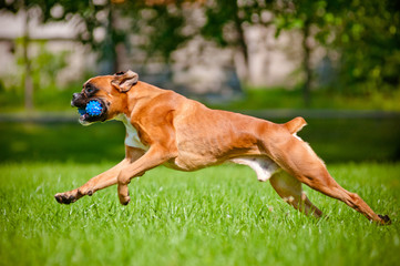 german boxer dog running outdoors