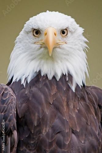 Weißkopfseeadler 5