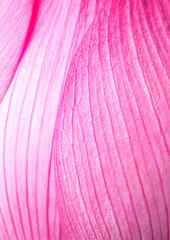 Pink lotus petal