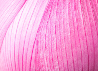 Pink lotus petal close up
