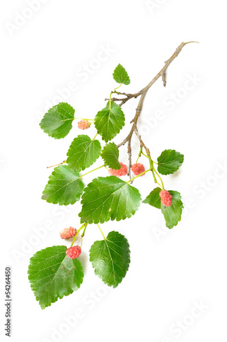Mulberry Tree Branch with Fruits