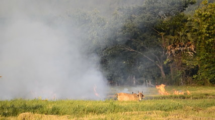 fire burning rice straw in countryside field