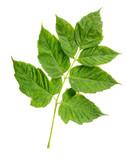 Maple Tree Leaf (cultivar) Leaves poster