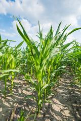 Closeup of growing maize in summer