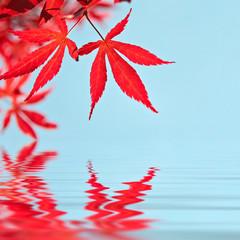 Feuilles d'érable rouge, reflets dans l'eau