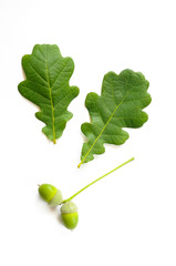 Oak Tree Leaves with Acorn