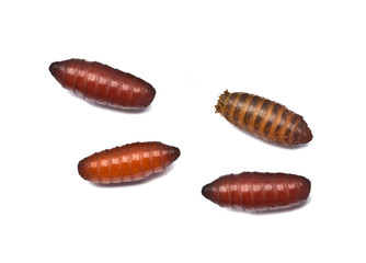 maggots in pupa stage
