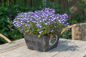 Garden table decorated with blue lobelias