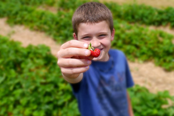 Close up of Young Boys hands picking Strawberries at a farm duri