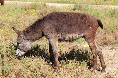 ass, Equus africanus asinus