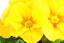 Piękne żółte pierwiosnki bliska