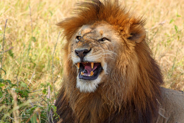 Male lion showing teeth