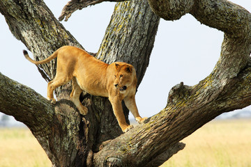 Lioness on a tree