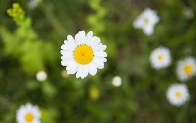 Daisy close-up