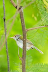 Dark-necked Tailorbird (Orthotomus atrogularis)