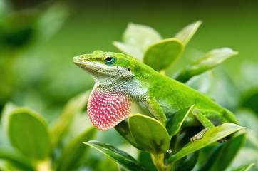 Green Anole lizard (Anolis carolinensis) showing off pink dewlap