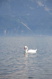 A swan swimming in Lake Geneva, Switzerland