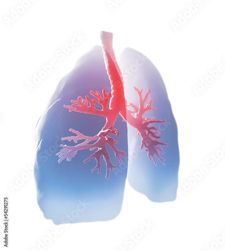 Lungs and bronchi