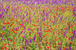 Beautiful poppy and lavender meadow background