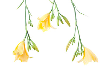 fresh yellow day lilies