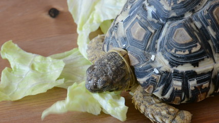 Mountain or leopard tortoise eating the lettuce