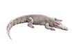 crocodile on white backgroung