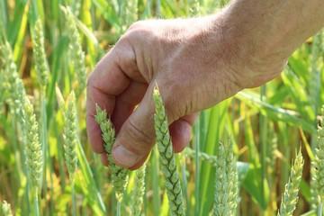 Bauer prüft Getreide