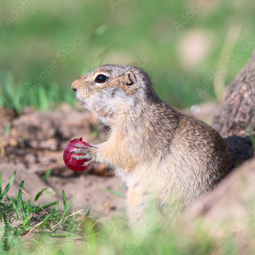 Gopher eats grape