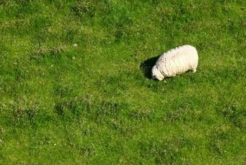 Schaf von oben